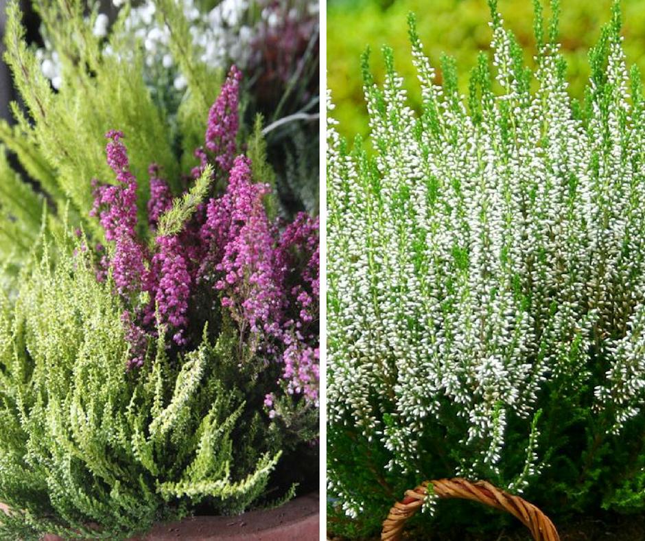 Mida istutada rõdukasti või aiavaasi sügisel?